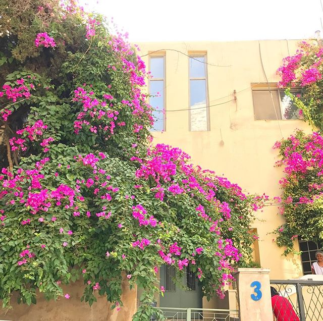 Rethink your ideas of the desert because my walk home from the market is like bam 💥 color! . . . . #bougainvillea #middleeasloveaffair #flowerstagram #jungalicious #jungalowstyle #greenliving #thisisthedesert 🌵  #middleeasteveryday #ammanbeauty