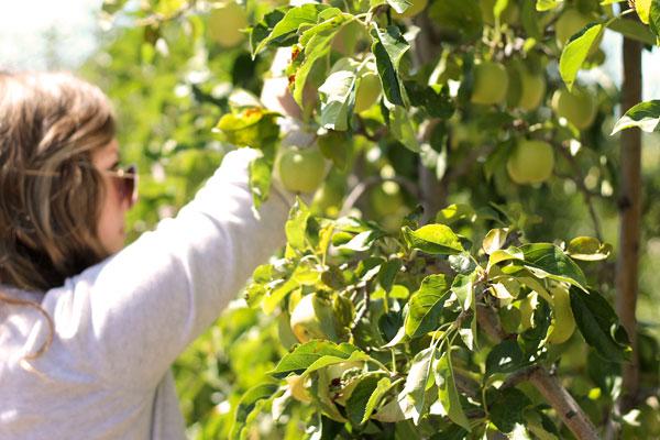 Apple Picking in Julian