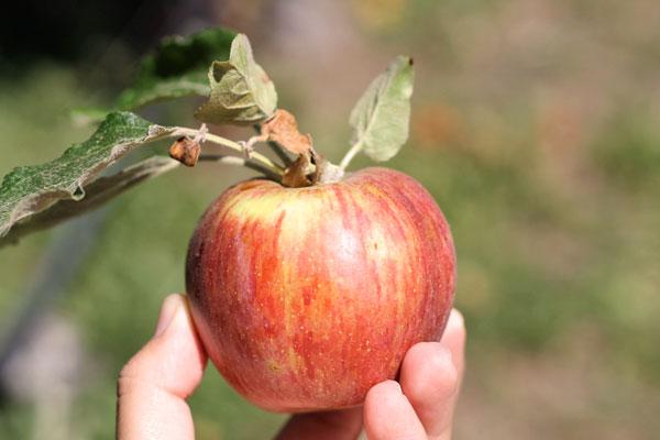 julian_ravenhill_apples.jpg