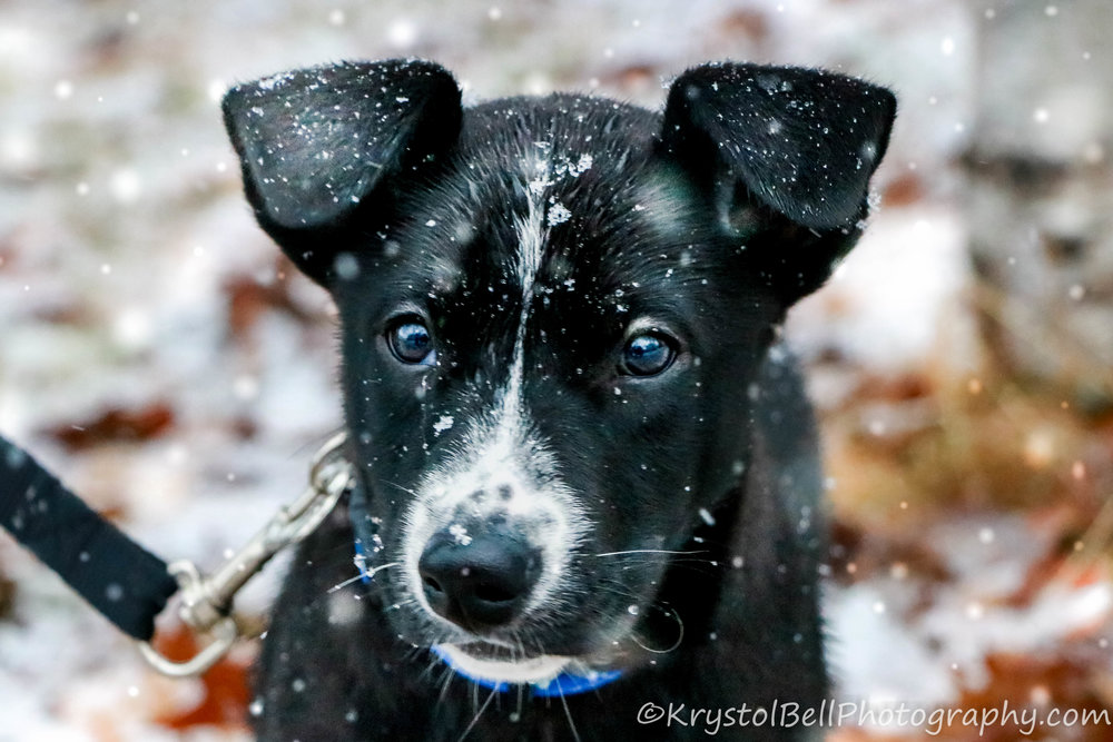Arrow, a puppy in her very first snowfall.  She's grown a lot in energy and spirit since this photo was taken!