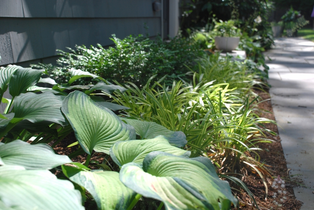 Side Garden of hosta, boxwood and lirope