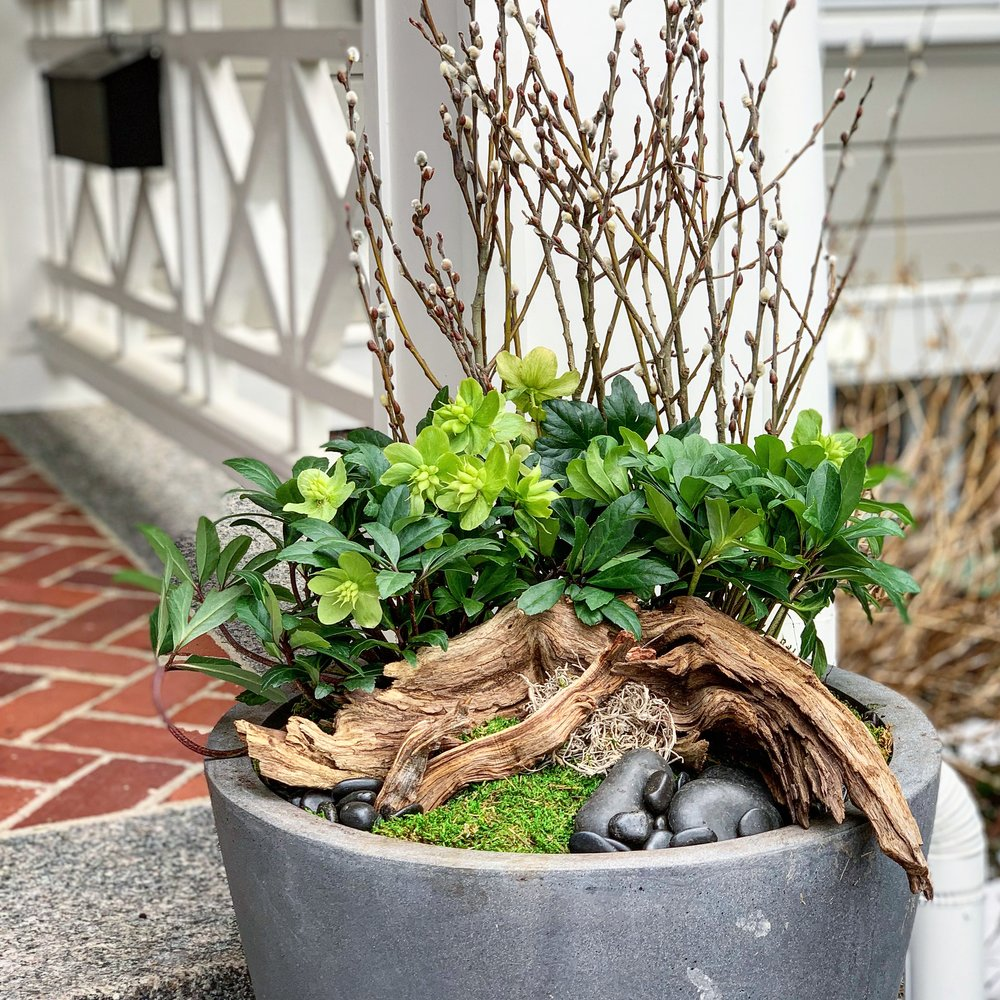 Early Spring container filled with hellebores and moss.