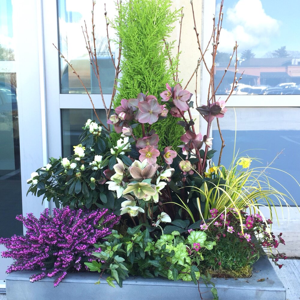This bright spring container is filled with hellebores, azalea, heather and other spring flowers.