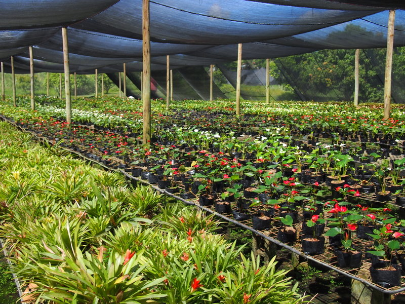anthurium greenhouse.JPG