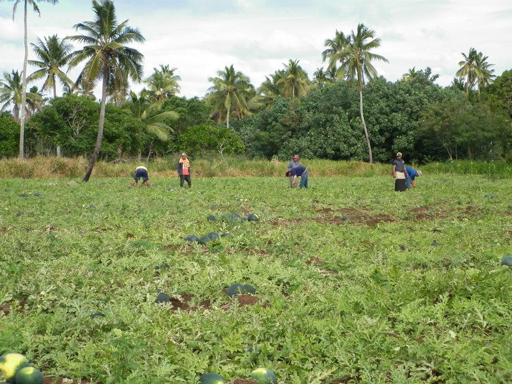 Watermelon Harvest 2.JPG