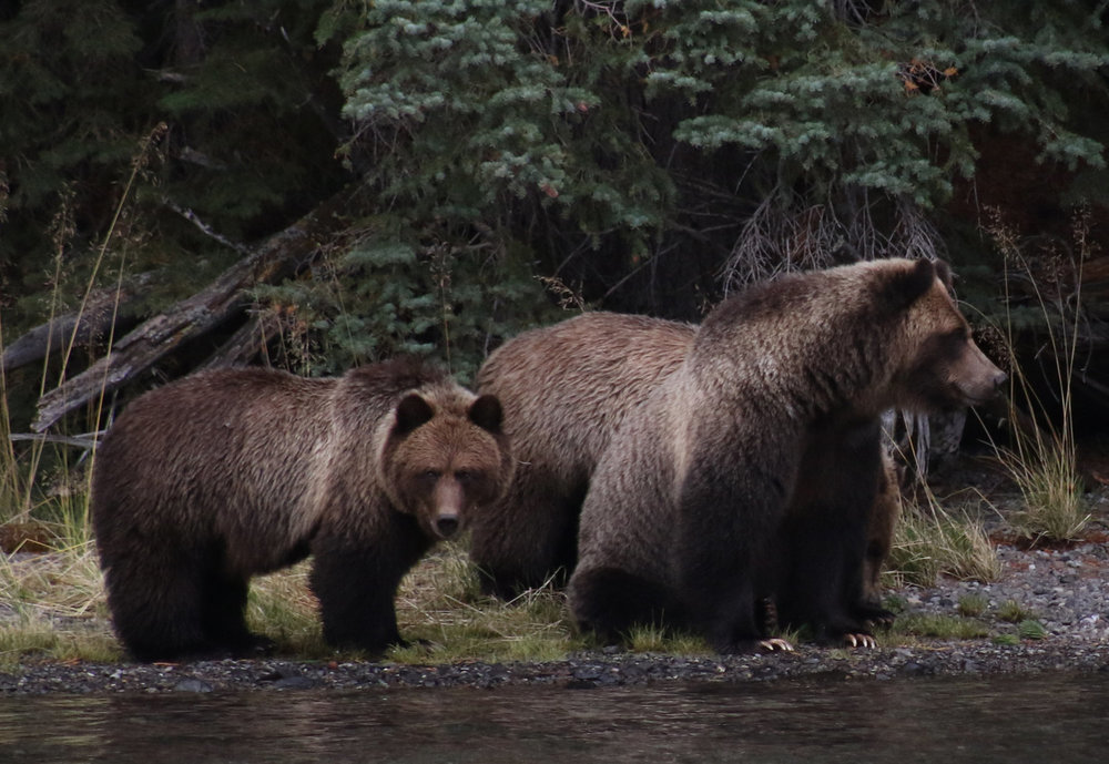 Grizzlies at Chilko Lake, BC. Oct,2016. KCarragher