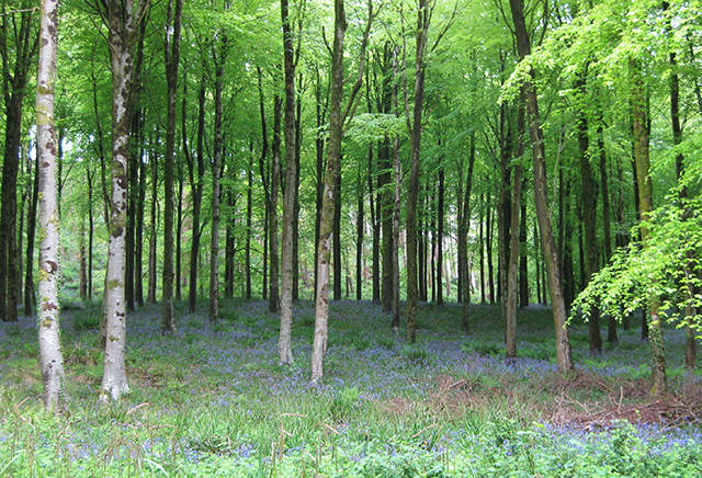 Hooke-Park-forest-beech-bluebells-dorest-architect-bizley
