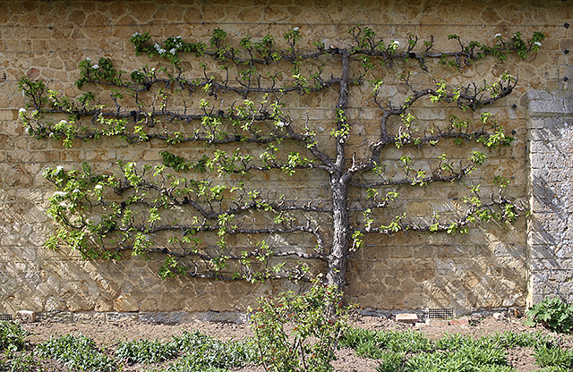 Barrington-Court-espalier-fruit-tree-walled-garden-somerset-architecture