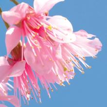 kirschblüte 3.jpg