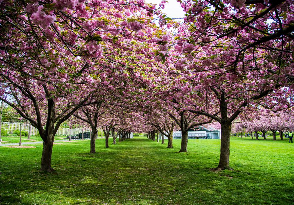 lindsay_michelle_cherry_blossom_brooklyn.jpg