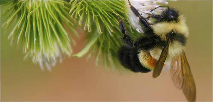 The Rusty Patched Bumble Bee - For the first time, a bee has made it on the US Fish and Wildlife Service's Endangered Species list. Though they used to live throughout Pennsylvania, they are now only found in a few patches. Lack of habitat is one of the main reasons they have disappeared. By adding more native plants, perhaps we can help the Rusty Patched Bumble Bee return to its natural range.Photo courtesy of Dan Mullen.