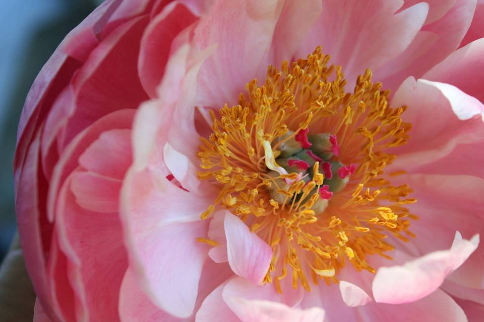Coral Charm peony grown by Hedgerow Flower Company, Nova Scotia