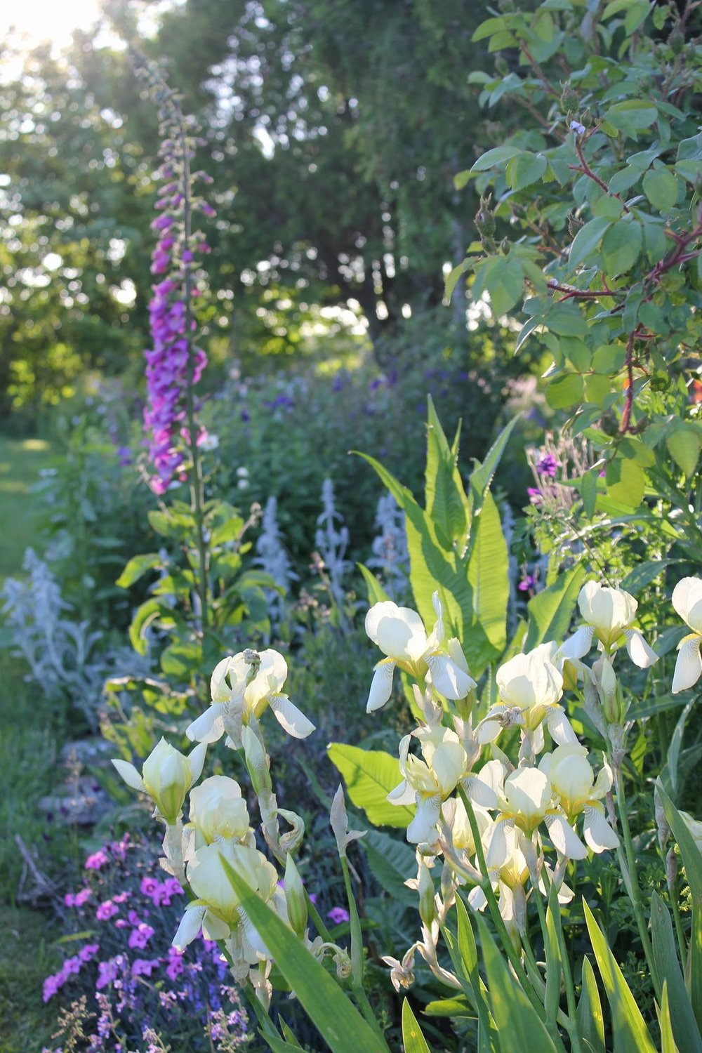 Hedgerow's garden in June. Nova Scotian cottage garden.
