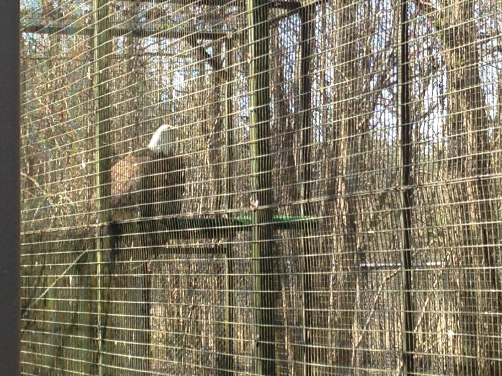 A bald eagle scheduled for release very soon!