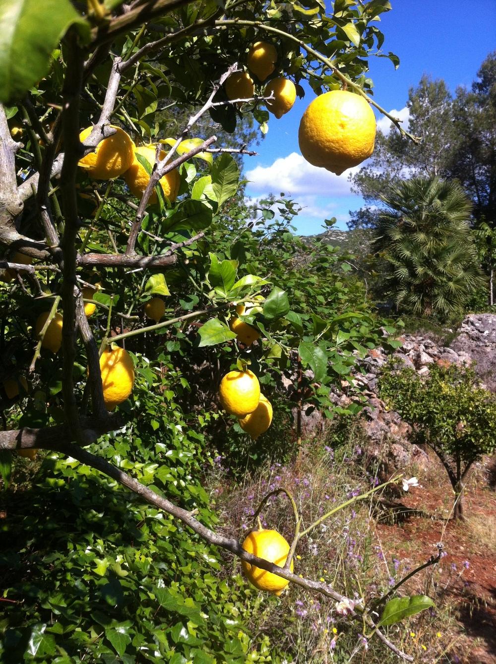 Lemons (2).JPG