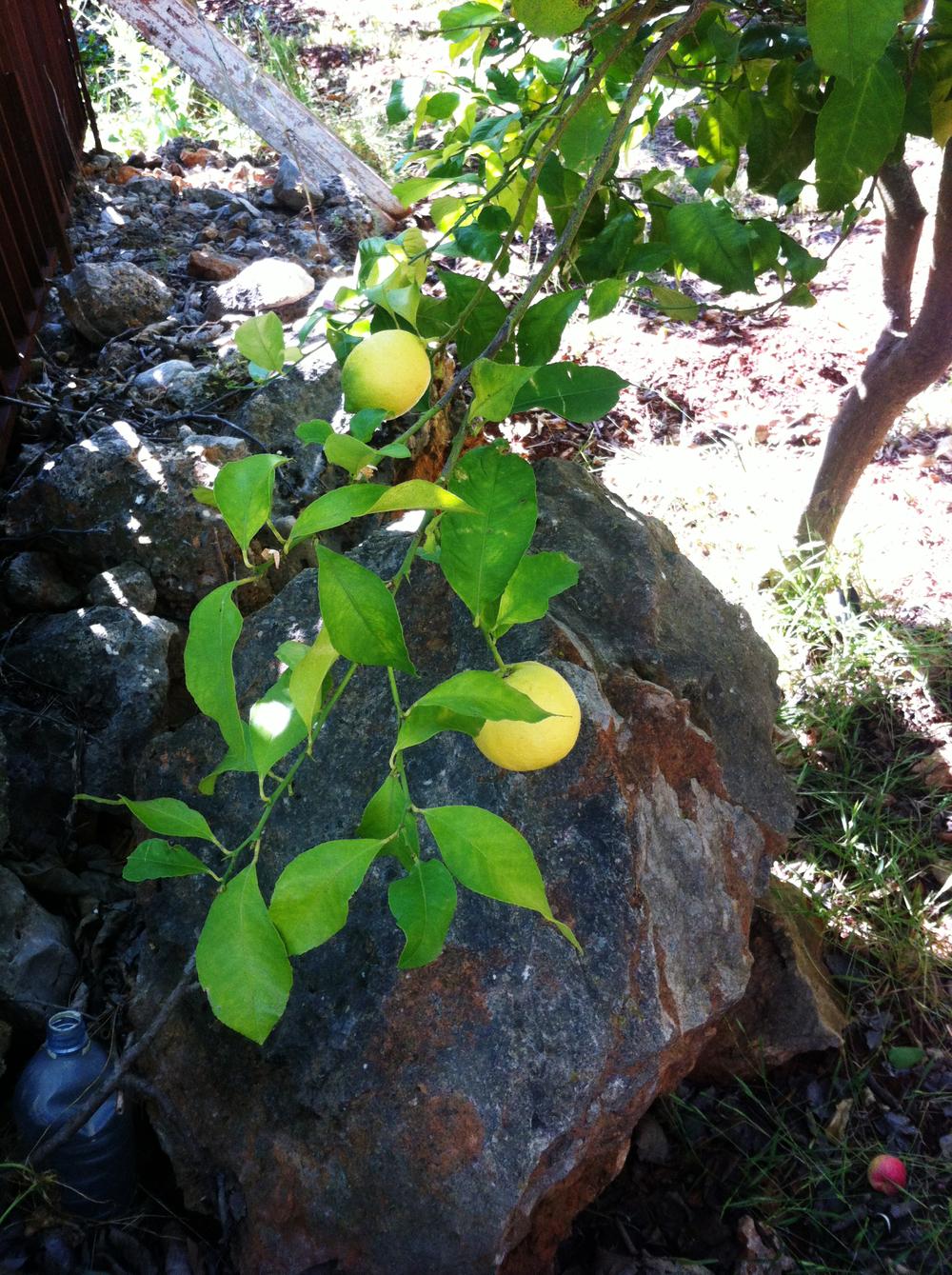 Lemons (3).jpg