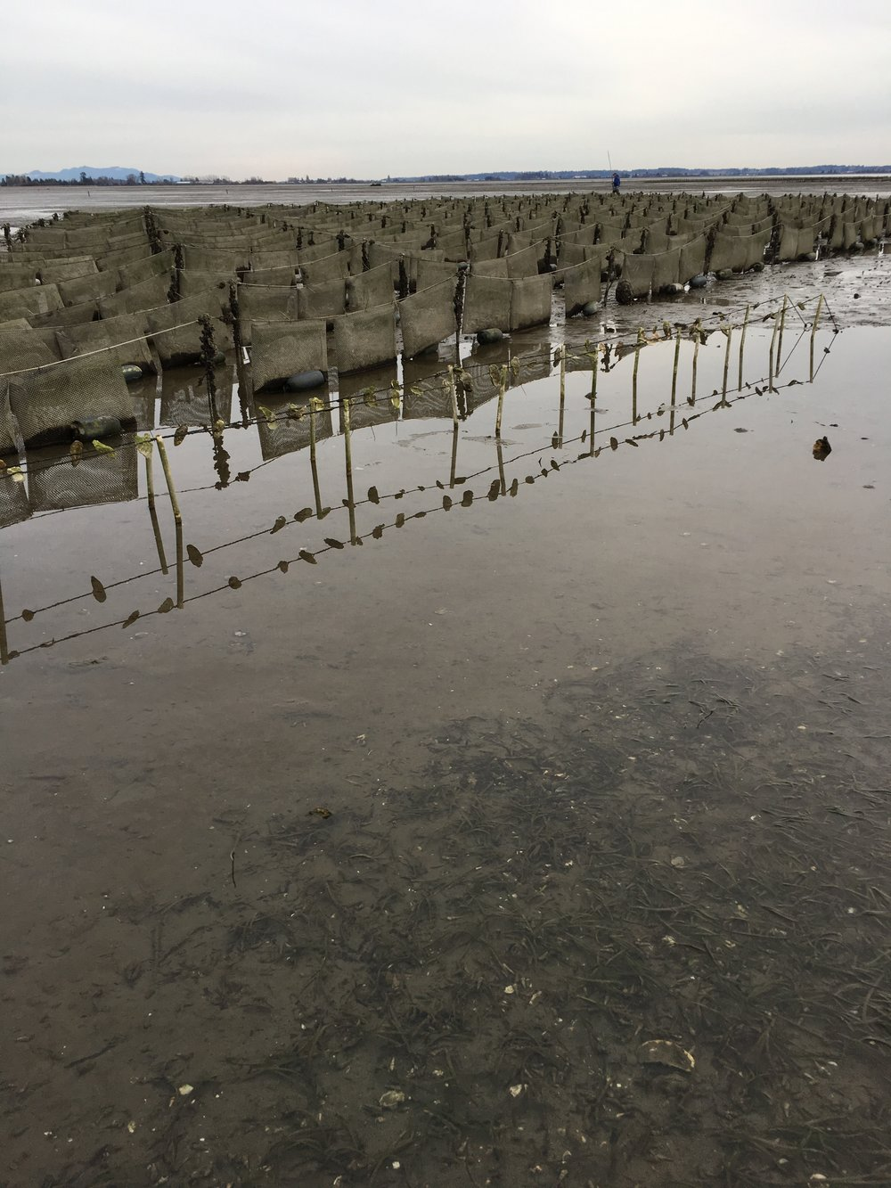 """The foreground is a demo of a """"long line"""" Pacific oyster seed grown on old shells strung up on a line up above the muddy ocean floor. Behind you can see the tidal flip bags for the Shigokus."""