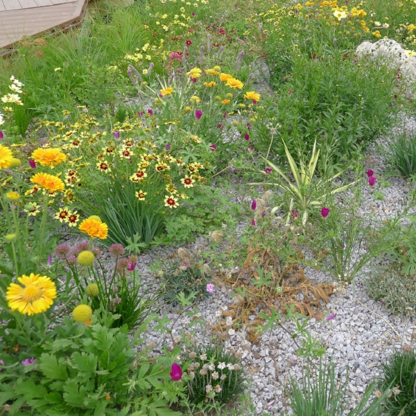 Xeriscape in full bloom.