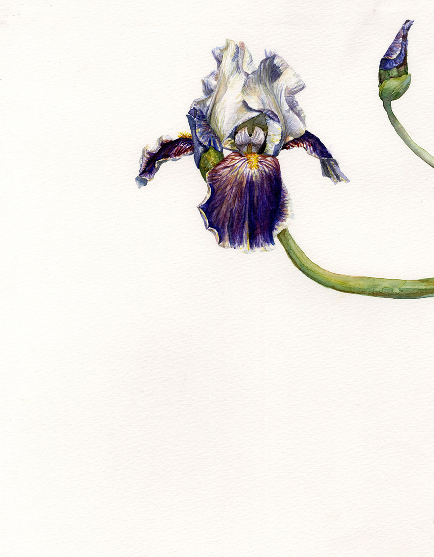 Dragon Tail Iris
