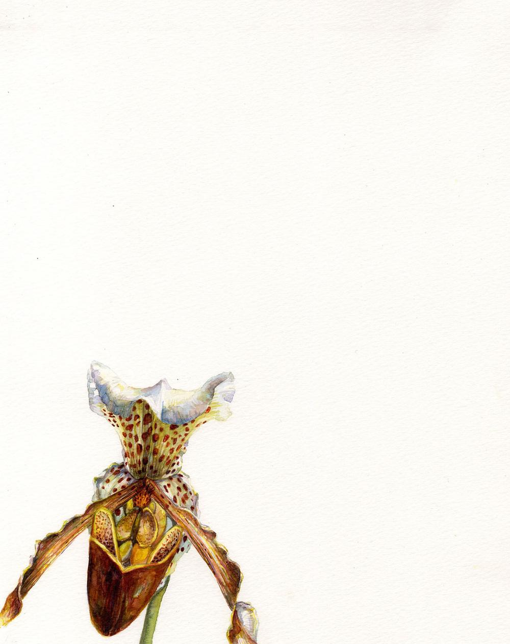 Dragon Head Orchid
