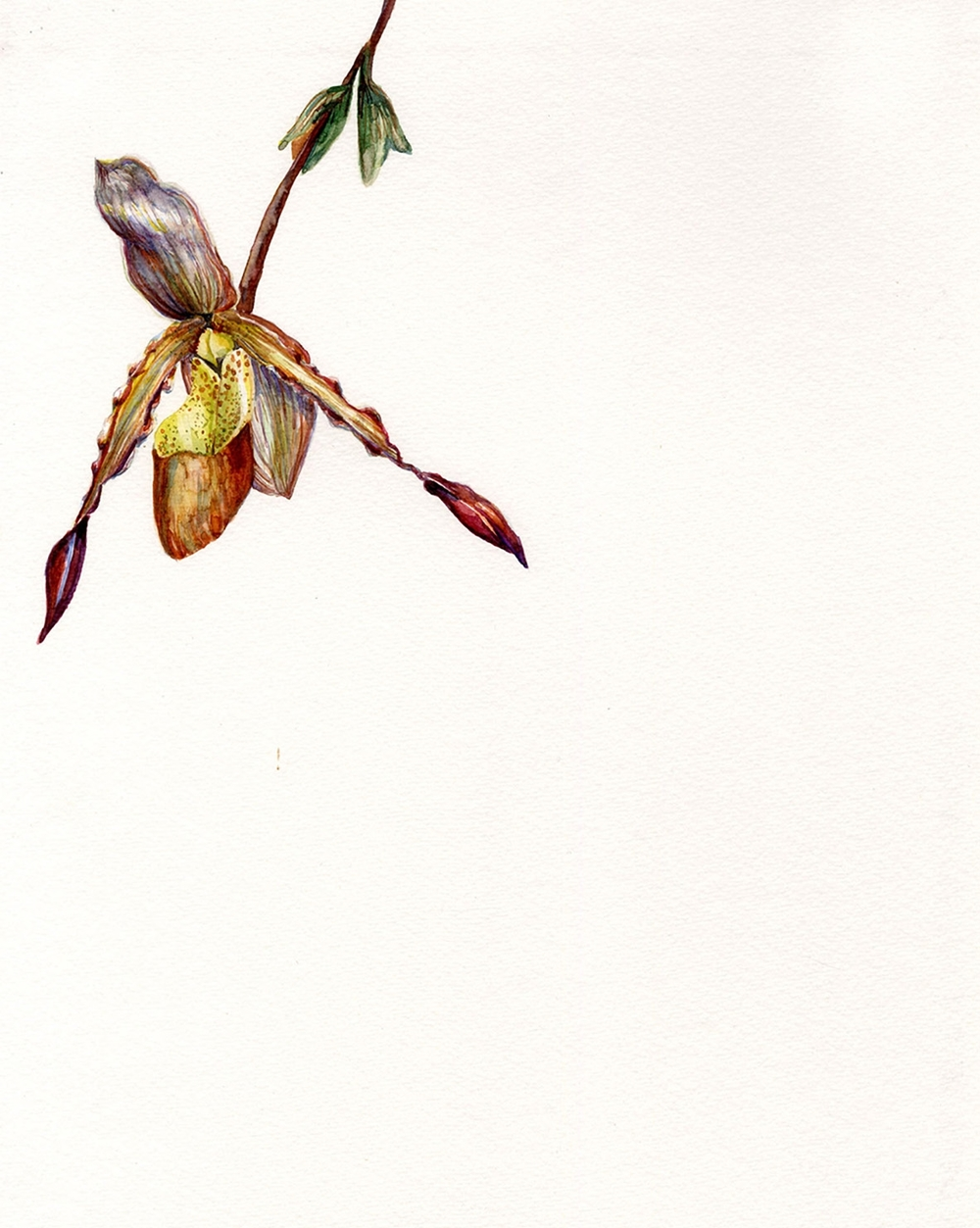 Hanging Lady's Slipper Orchid