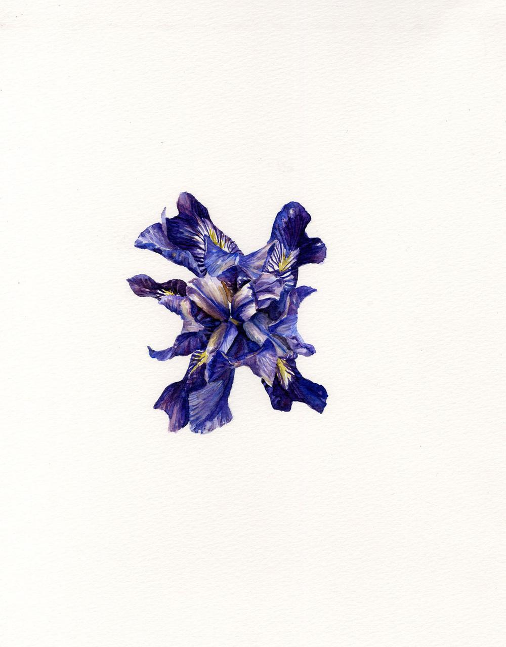 Purple Iris (Above)
