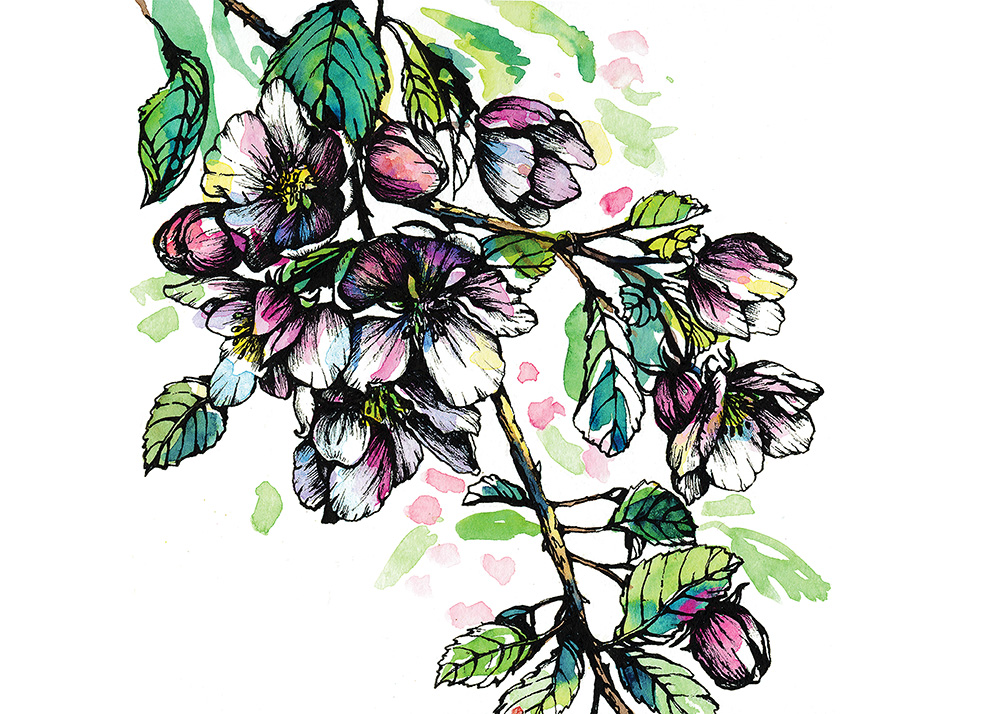 Apple Blossoms, ink and watercolor