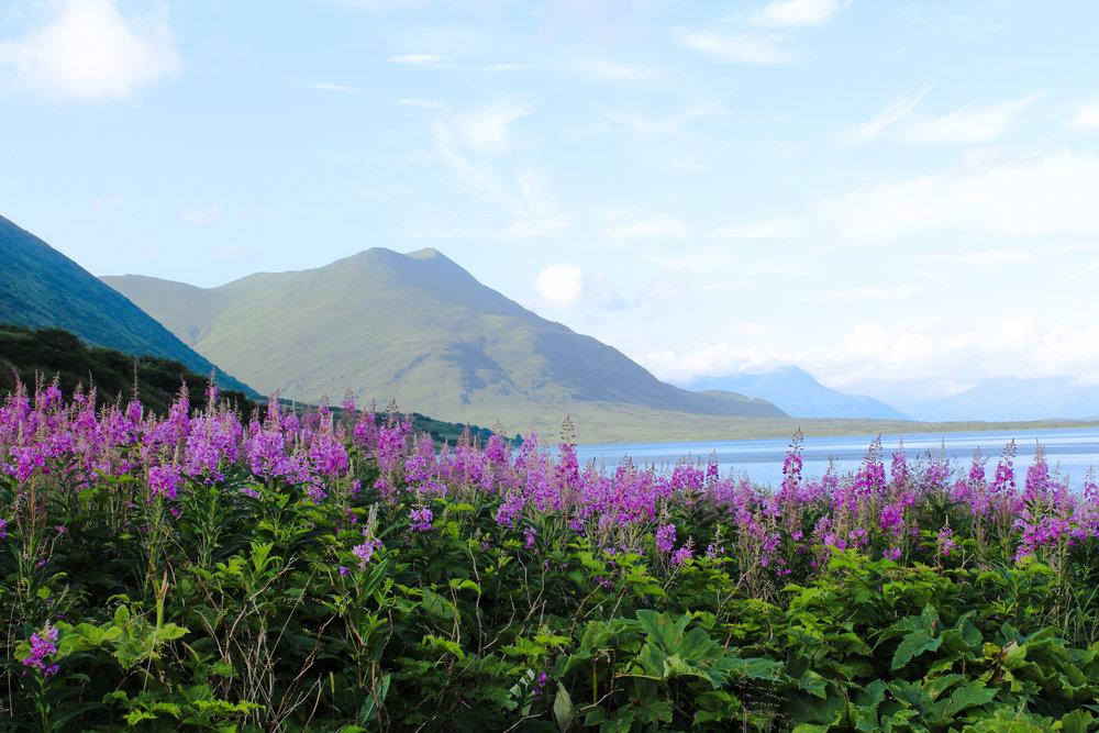 Alaskan Lupine Flower