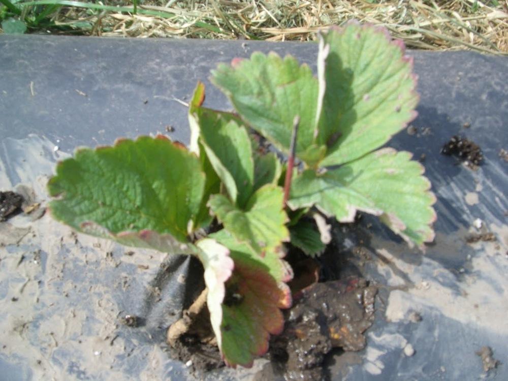 strawbery-planting-003.jpg