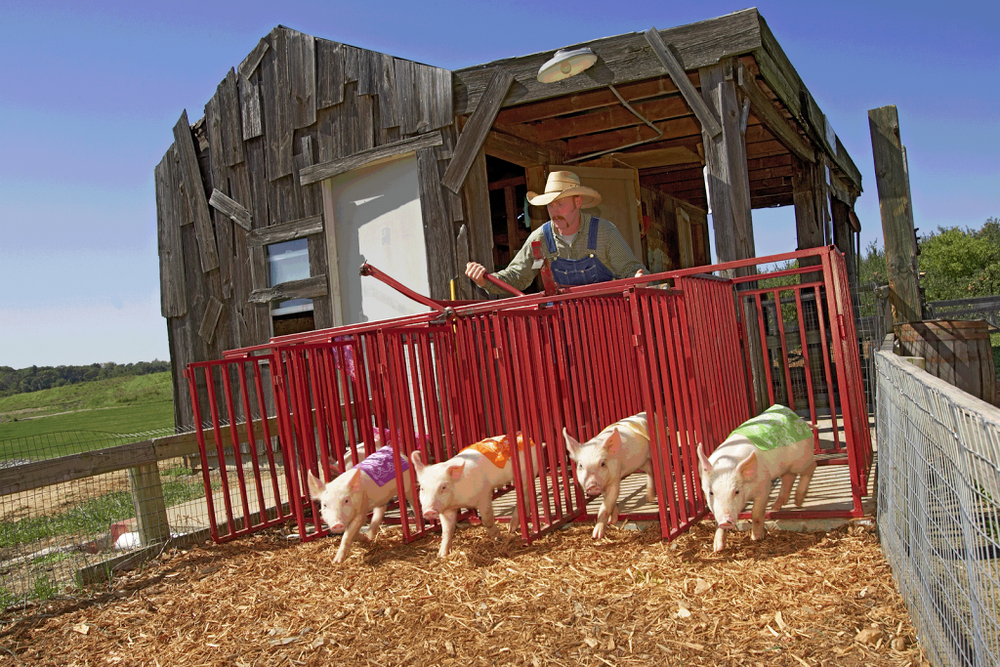 Billy-Bob-27s-Pig-Races-300x2001.png
