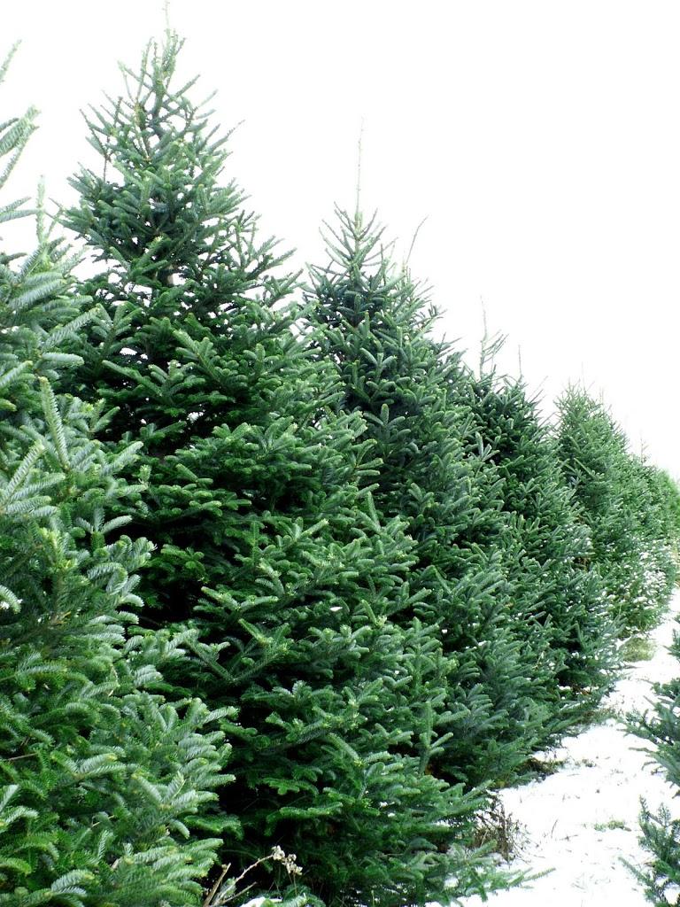 christmas-2Btree-2Bfarm-225x3001.jpg