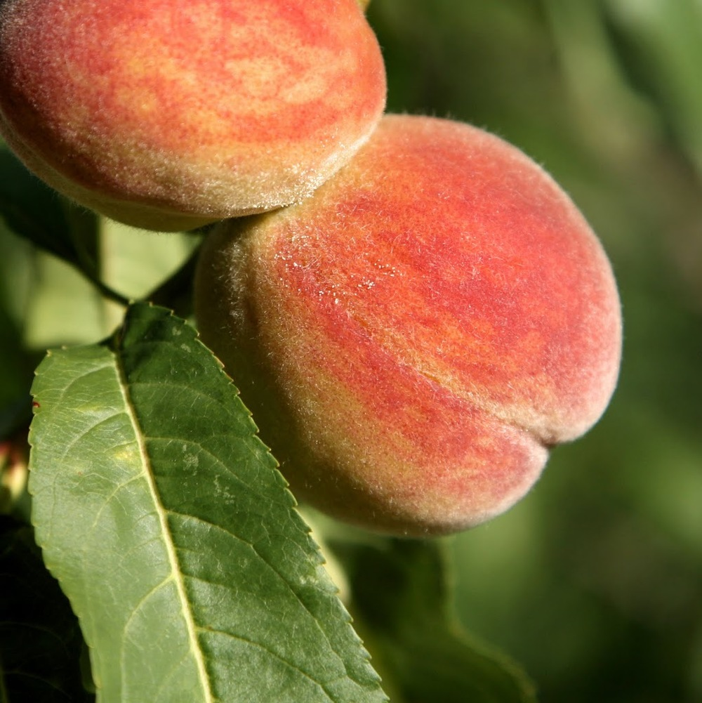 peaches-2Bon-2Btree-300x3001.jpg