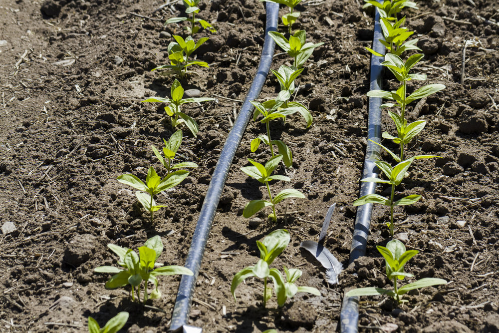 Drip Irrigation in Vegetable Garden