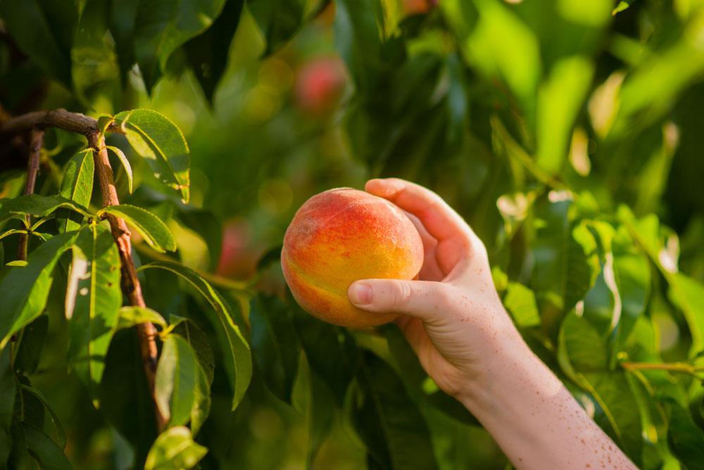 picking-peaches.jpg