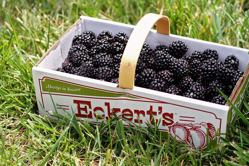 Can-Dogs-Eat-Blackberries.jpg