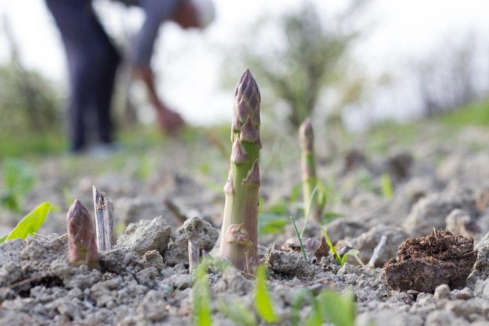 Harvesting Asparagus.jpg