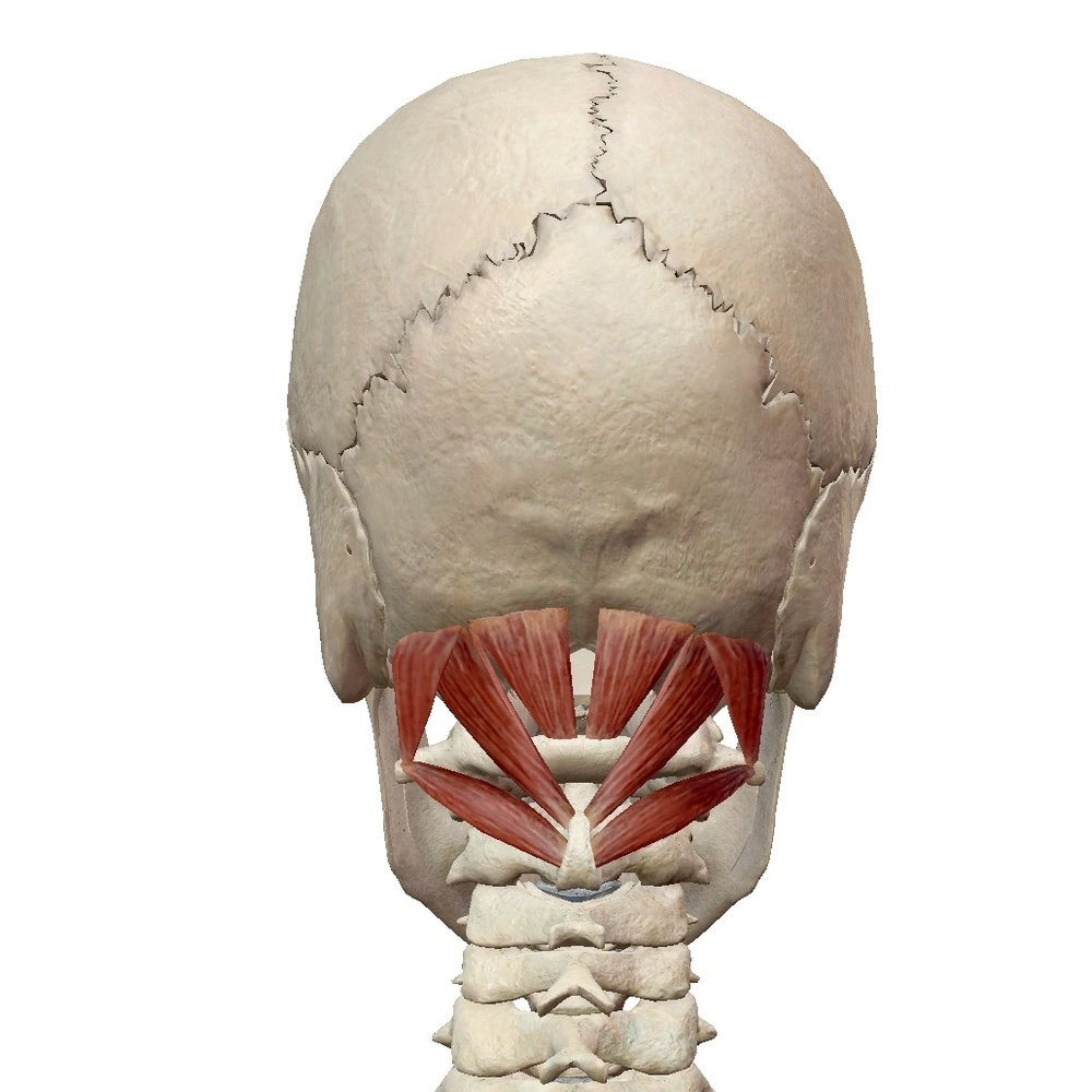 posterior view of suboccipitals
