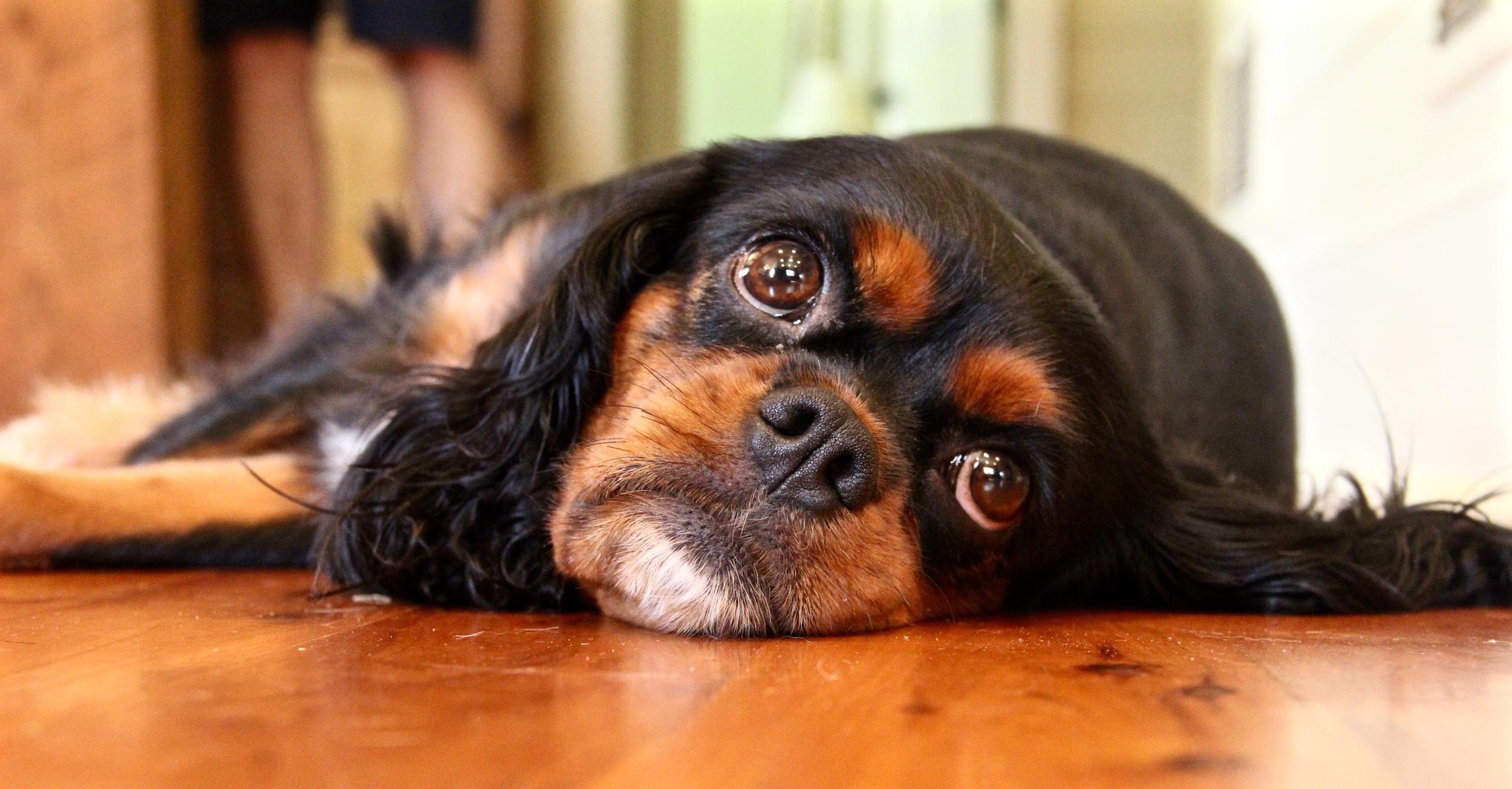 lazy sunday puppy dog