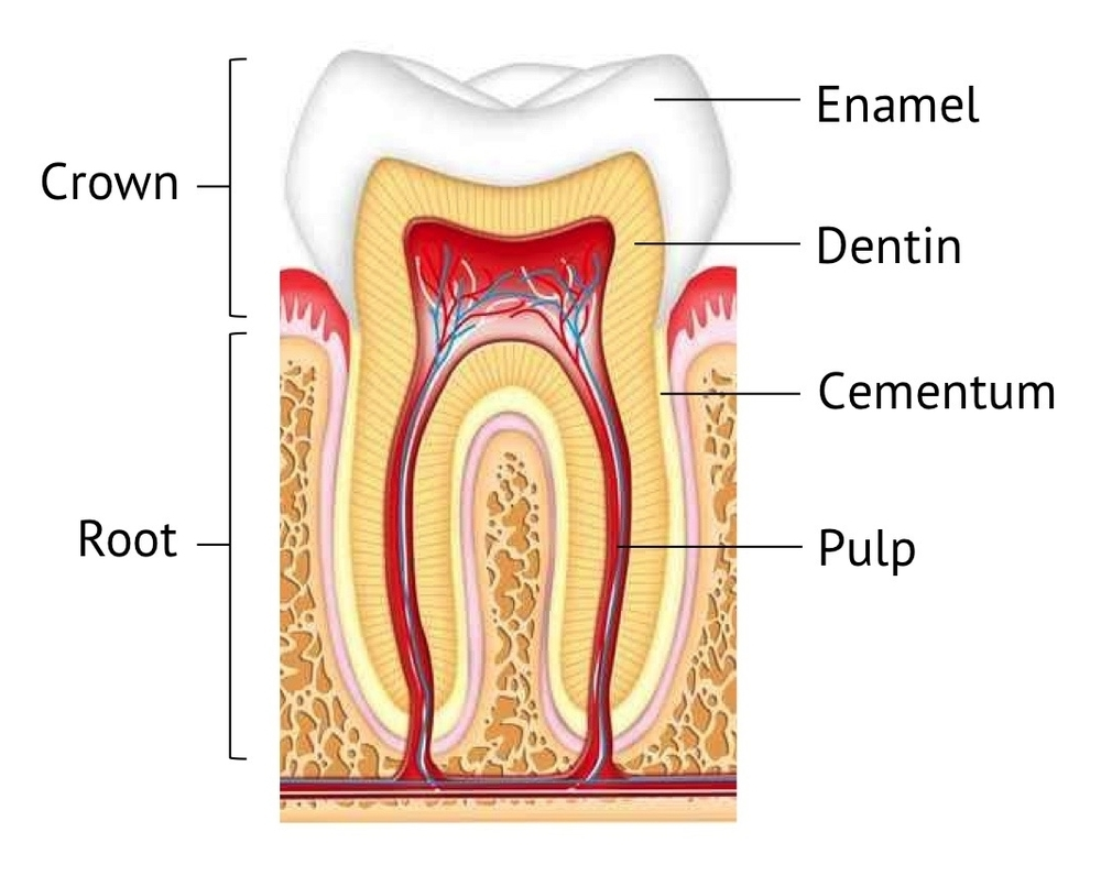 Filling You In Get To Know Your Teeth Tooth Structure And Support