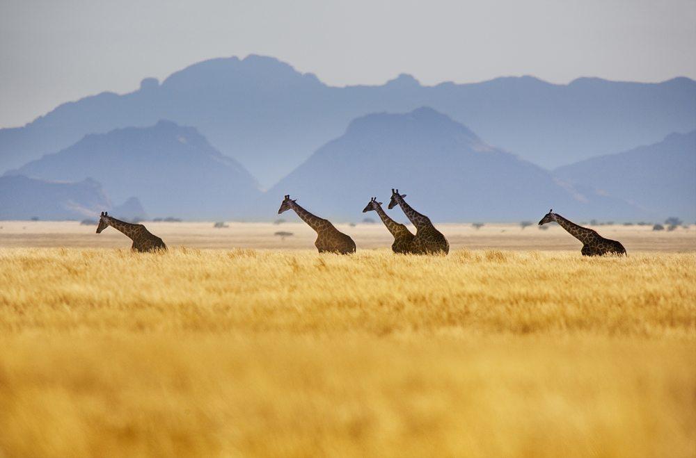 hp-giraffes.jpg