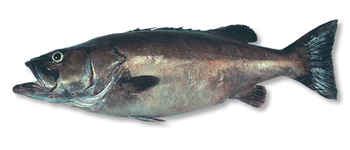 Hapuku - Maori name: HapukuLenghth: 80-100 cm, up to 180 cmWeight: 25-80 kg+Caught in temperate and subtropical waters from 50-800 metersFamily: Hapuku are from the Polyprion familyTaste: Hapuku flesh has firm moist white flakes and is white when cooked.