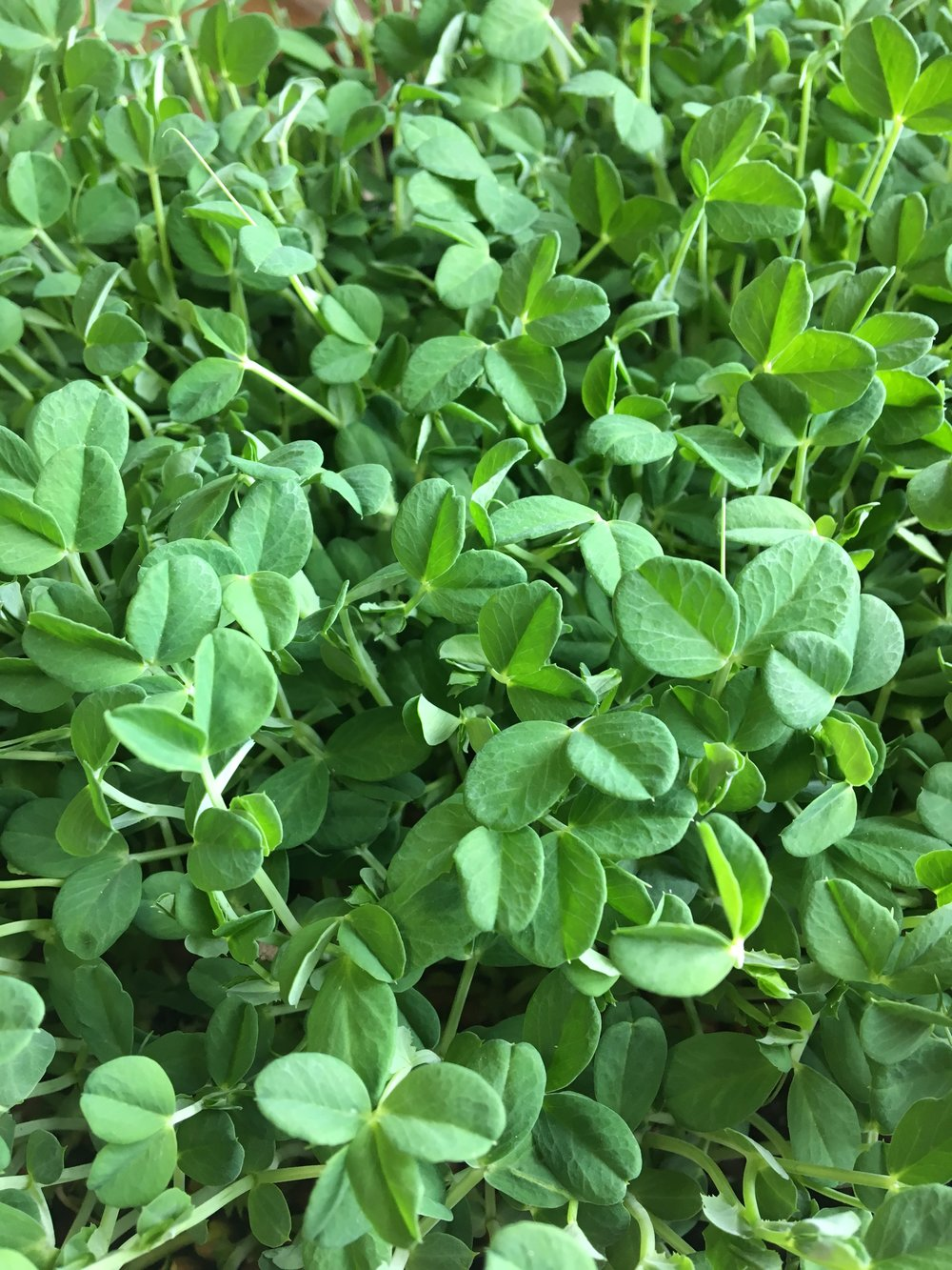 Pea shoots ready for harvesting.