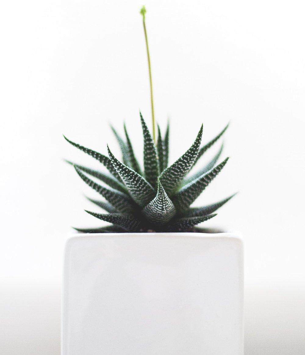 cactusplantwithgrowingflower.jpg