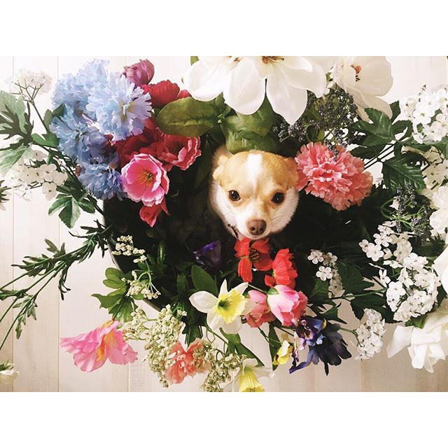 It's spring and I don't have a girl baby to play with and take pictures of... So #lucithechihuahua will have to do 😂 . . . #365daysofmondays #chihuahua #chihuahuasofinstagram #spring #flowers #dogmodel #vsco #vscocam #documentyourdays #iphoneography #thatsdarling #instadogs