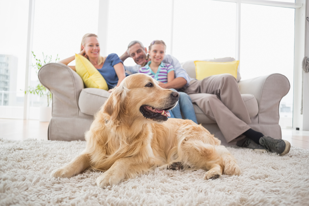 bigstock-Golden-Retriever-on-rug-with-f-84986603.jpg