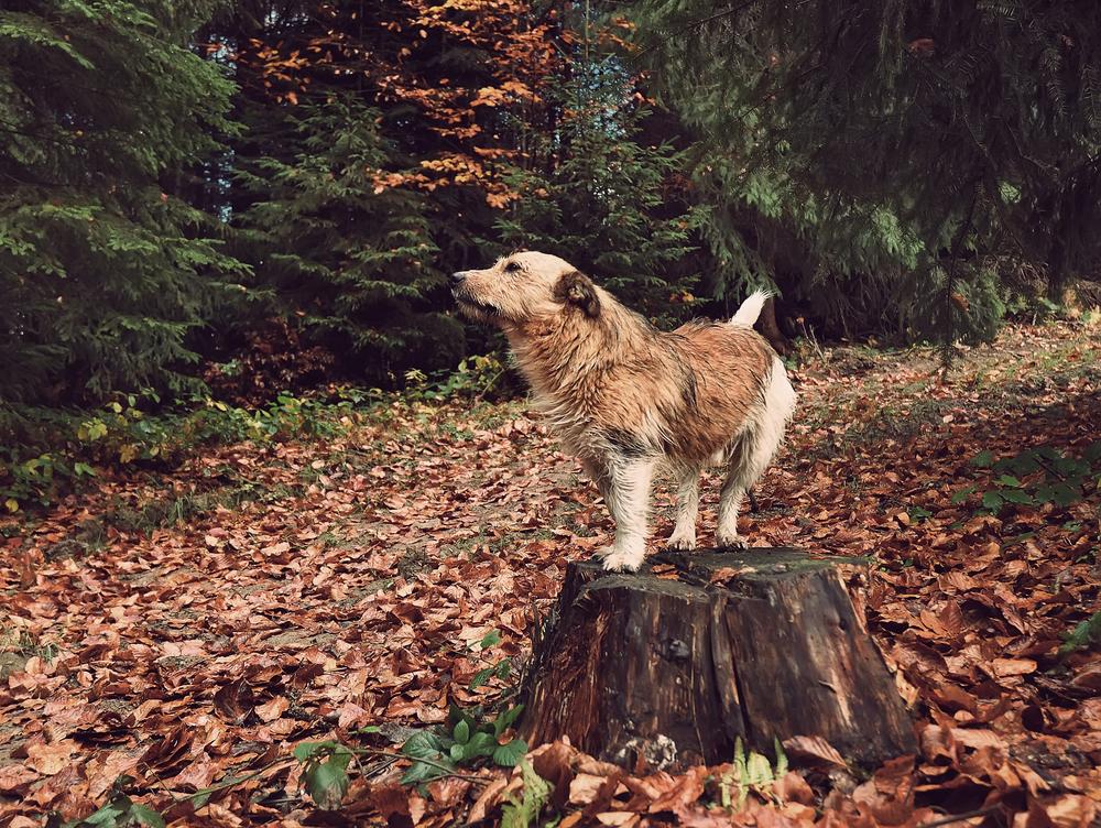 bigstock-dog-on-a-tree-stump-in-the-woo-108871499.jpg