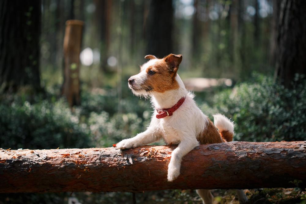 bigstock-Dog-Jack-Russell-Terrier-Walks-91465589.jpg
