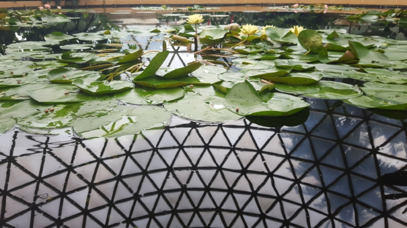 Water lilies in Brisbane Botanic Gardens Tropical Display Dome