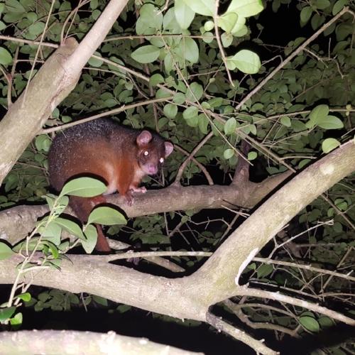 Ringtail possum ( Pseudocheirus peregrinus )