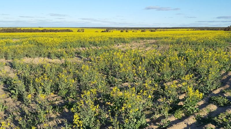 Canola field in flower